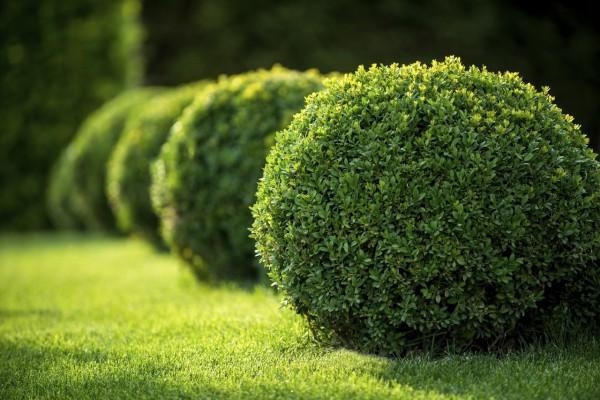 Buxinho (Buxus sempervirens)